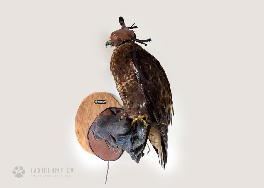 Taxidermy Buzzard on Falconry Glove