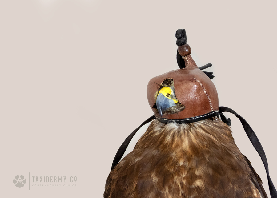 Taxidermy Buzzard With Falconry Hood