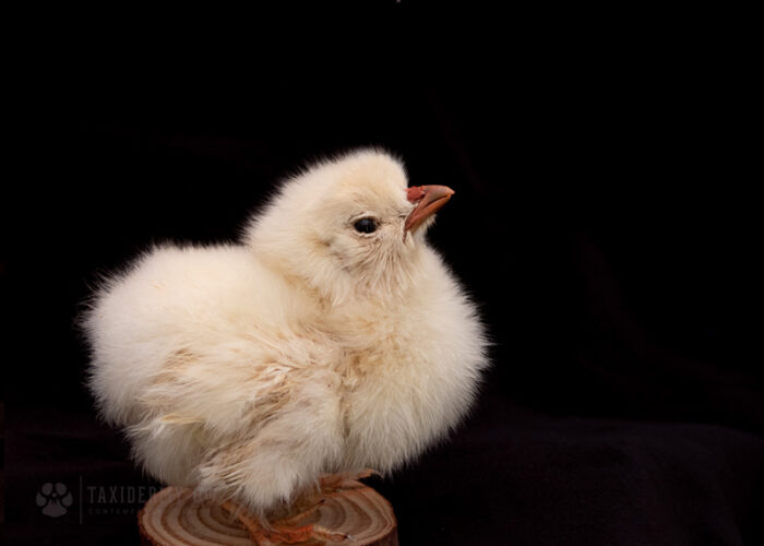 Taxidermy Chick Yellow