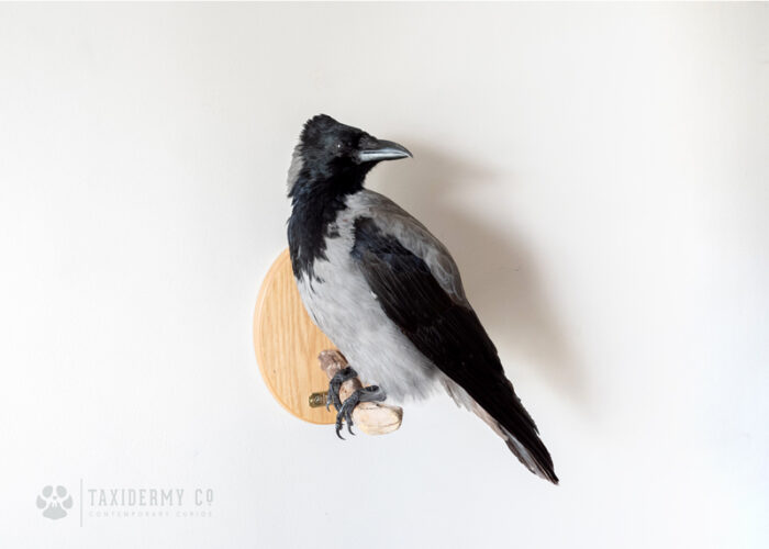 Taxidermy Wall Mounted Hooded Crow For Sale
