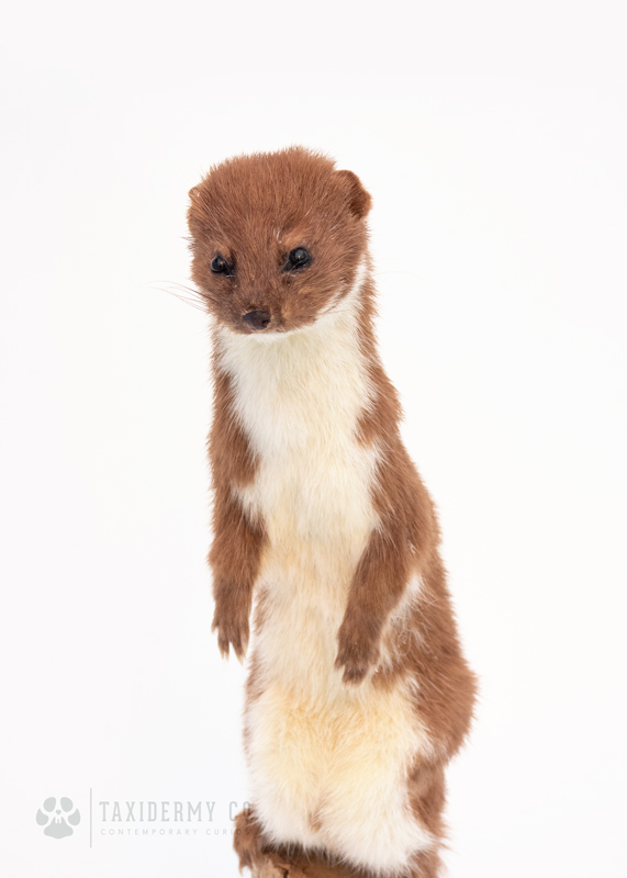 Modern Taxidermy Weasel For Sale