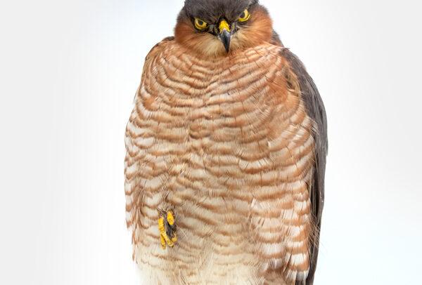 Taxidermy Sparrowhawk UK ART