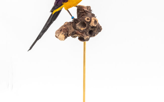 Taxidermy Golden Breasted Starling