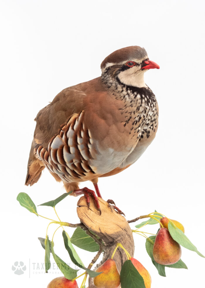Ethical Taxidermy Partridge