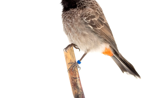 Taxidermy art Red-vented Bulbul