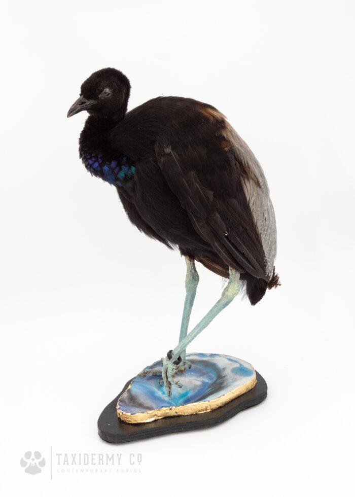 (Psophia crepitans) Trumpeter Bird Taxidermy For Sale