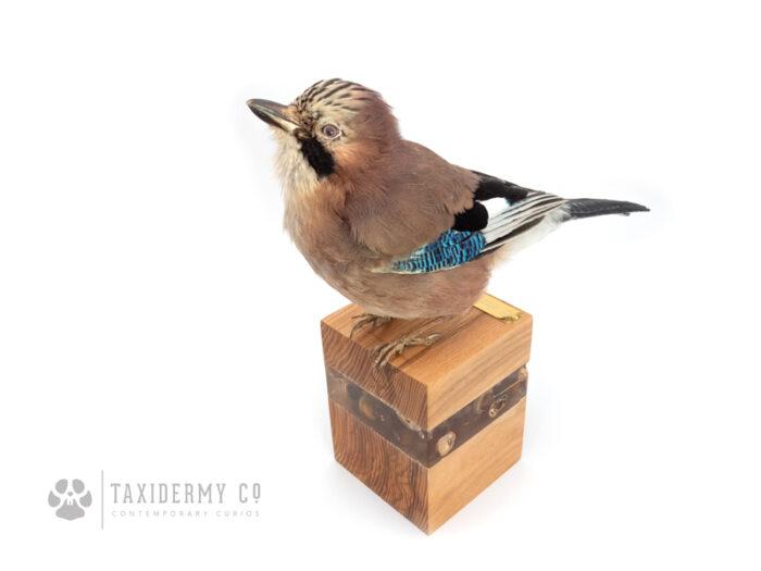 Contemporary Taxidermy Art Jay