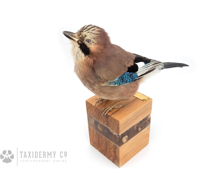 Contemporary Taxidermy Art Jay