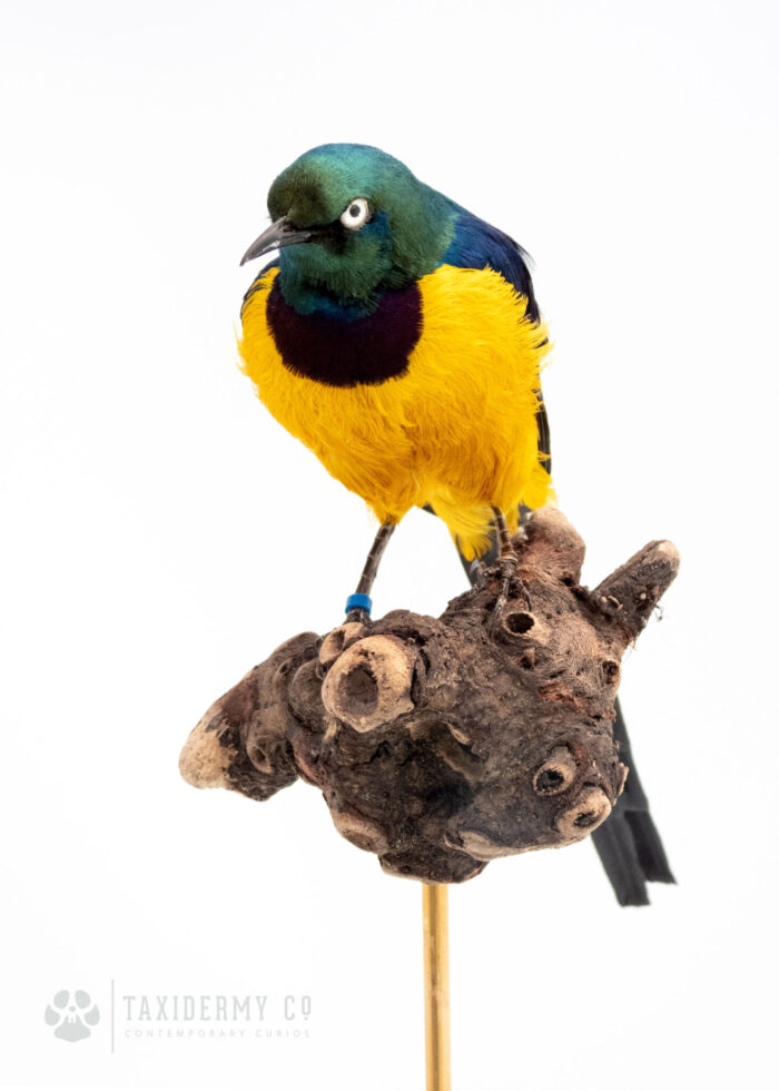 Exotic Bird Taxidermy For Sale