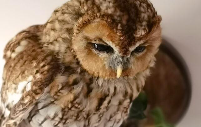Taxidermy-Tawny-Owl-For-Sale-2