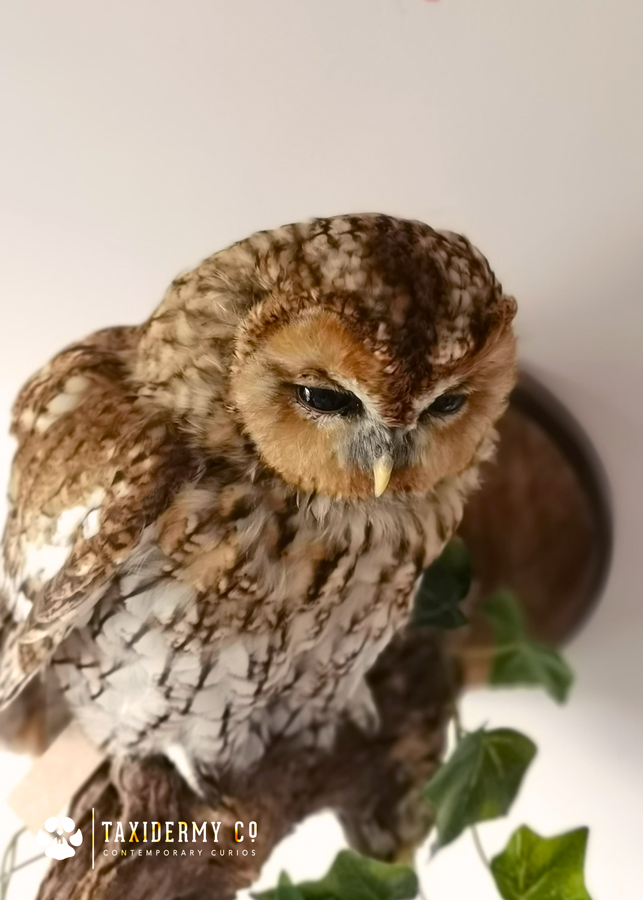 Taxidermy-Tawny-Owl-For-Sale-2