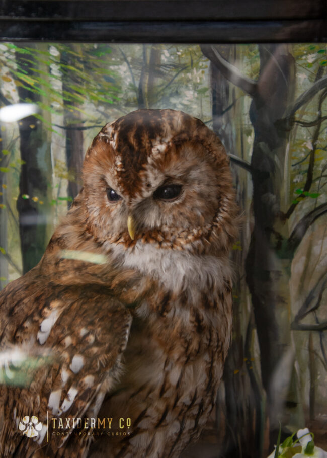 Taxidermy Tawny Owl Commission