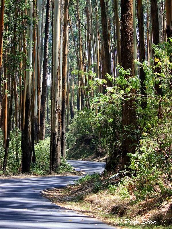 eucalyptus trees in ooty