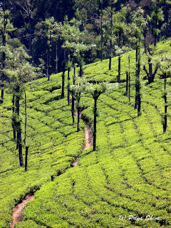 niligiri tea plantation