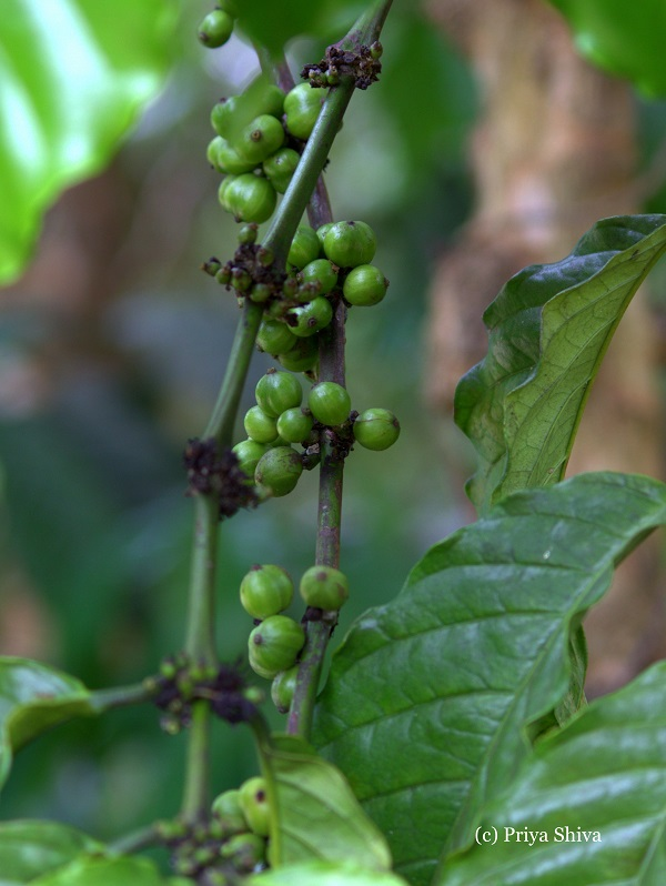 coffee green berries
