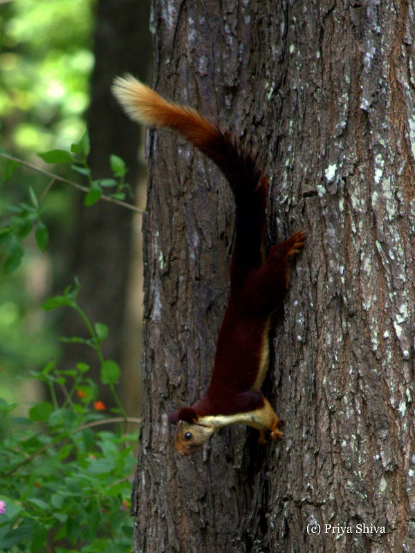 malabar squirrel in Nagarhole