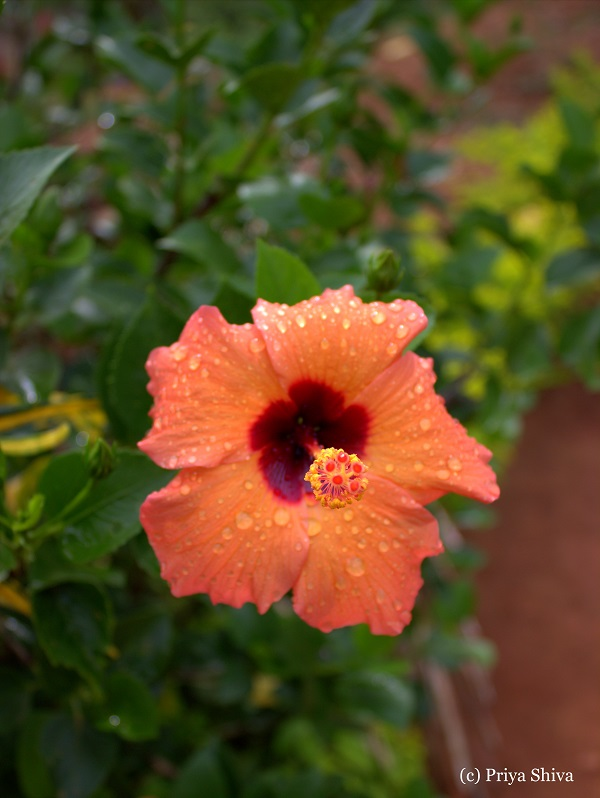 orange hibiscus - nagarahole