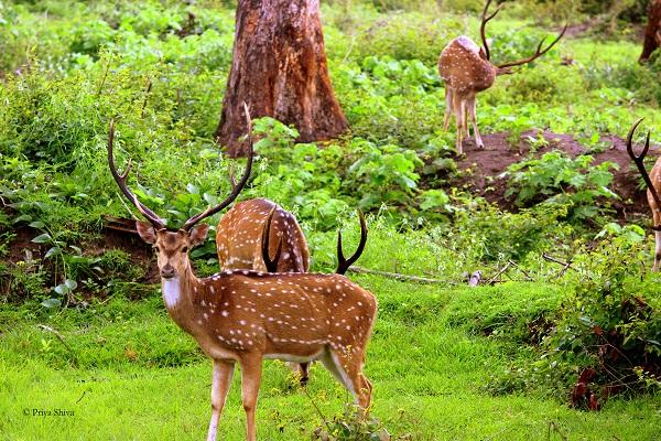 deer at mudumalai