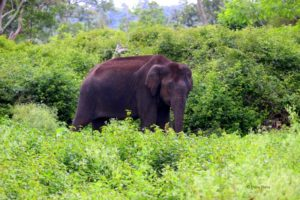 elephants at mudumalai