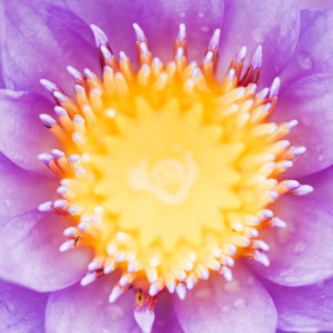 water-lily-000013408245_Large