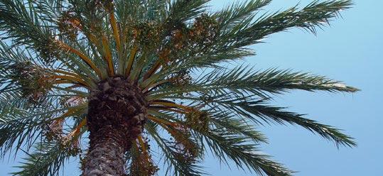 palm-tree5