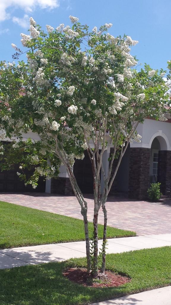 Tree - Crepe Myrtle - White bloom