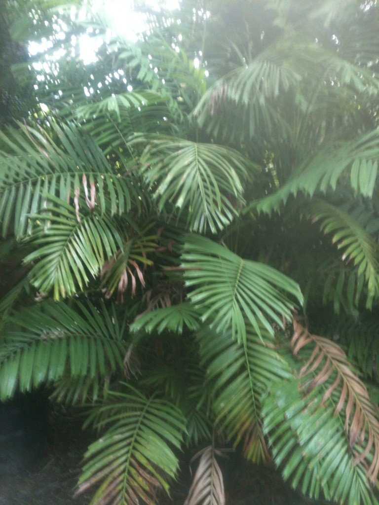 palm - Dwarf Sugar palm