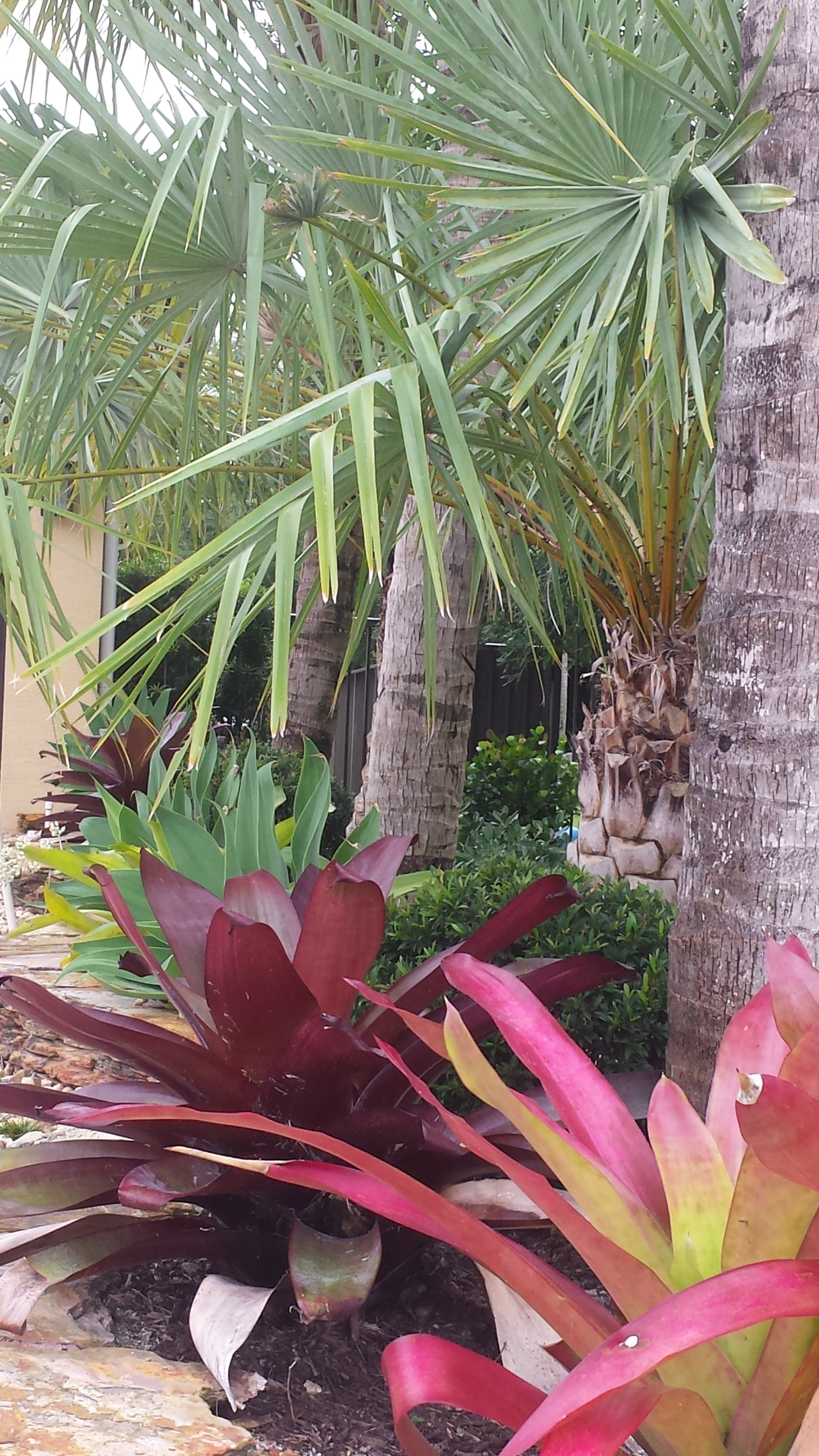 bromeliads in front landscape, west palm beach