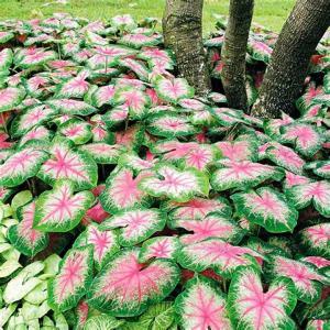 Caladium plant