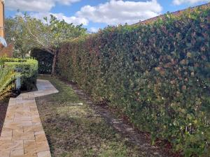 Cocoplum hedge - mature kept at approx. 8' height. Well maintained & trimmed.