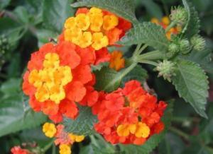 Lantana - Orange - Ground cover - close up