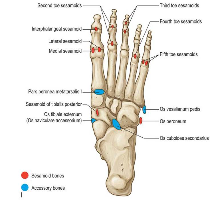 Accessory Bones of the Foot