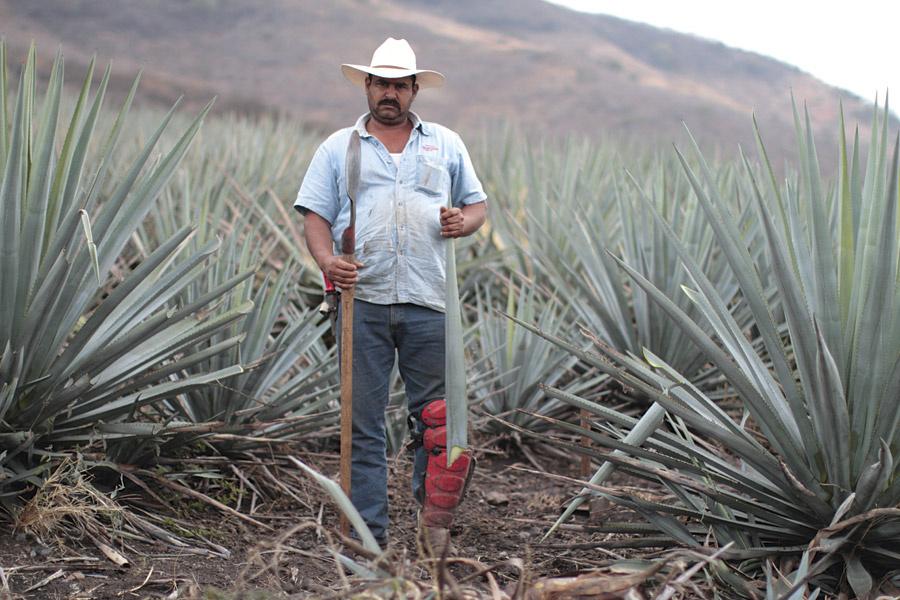 Campo agavero Tequila Jalisco Mexico