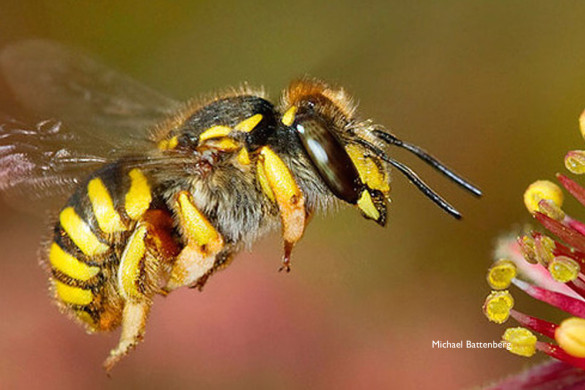 wool carder bee, photo by Michael Battenberg