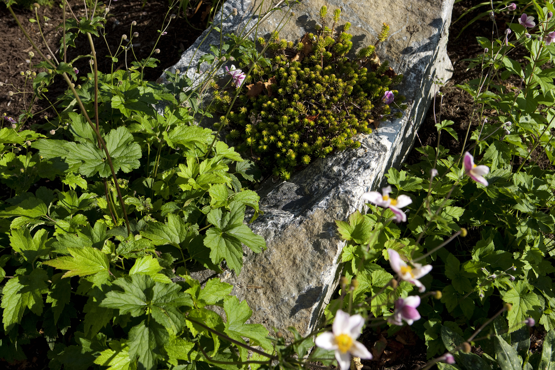 Alford – super large boulder w low Sedum planted on it surrounded by Anemone ' tomentosa