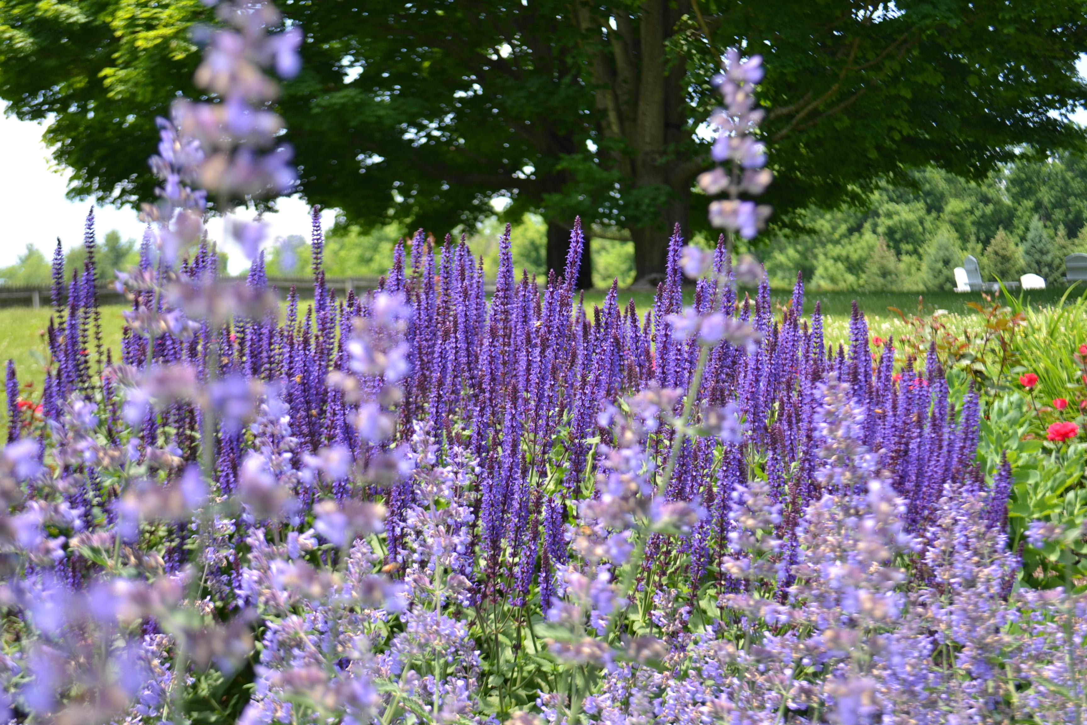 Richmond Farm purple flowers ICON