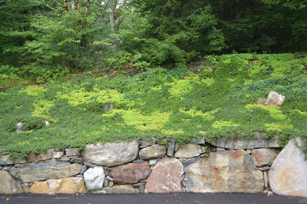 Monterey-Bearberry,-sedum-on-steep-w-native-stone-wall