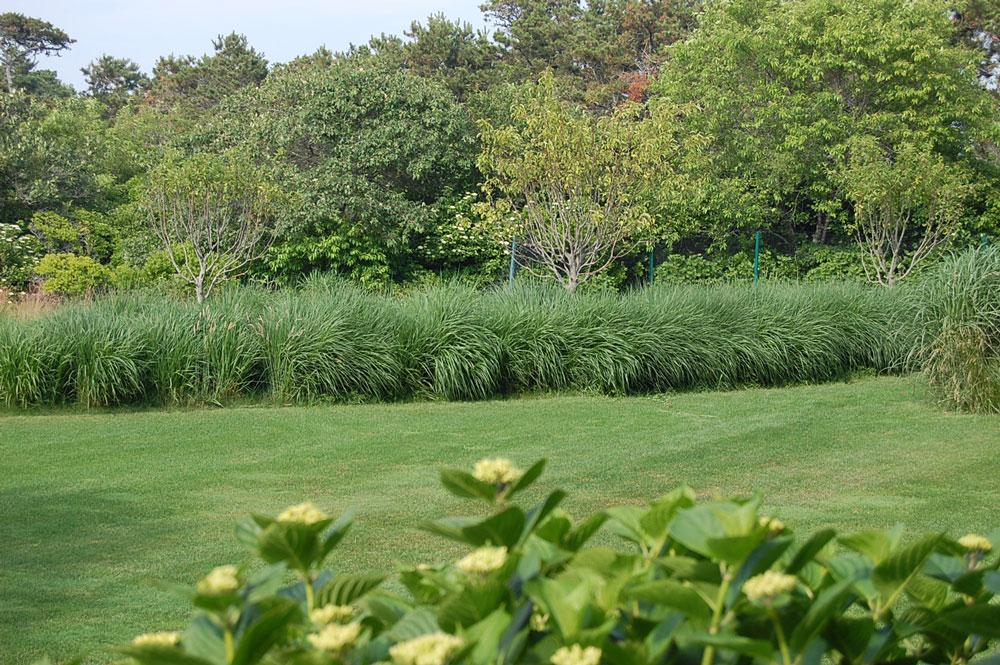 Nantucket-little-bluestem-grass-border-w-Lacecap-Hydrangeas