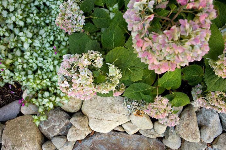 Rock-On-Pinky-Winky-Hydragea-w-Lamium-'White-Nancy'-amongst-river-stones