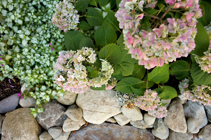 Rock-On-Pinky-Winky-Hydragea-w-Lamium-'White-Nancy'-amongst-river-stones