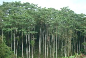 Balsa Wood Forest