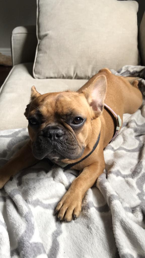 Don's French Bulldog Lola
