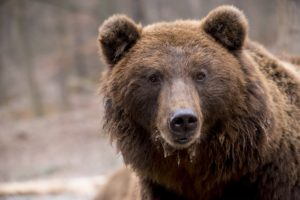 Lessons Learned from the Gut Microbiome of Hibernating Brown Bears