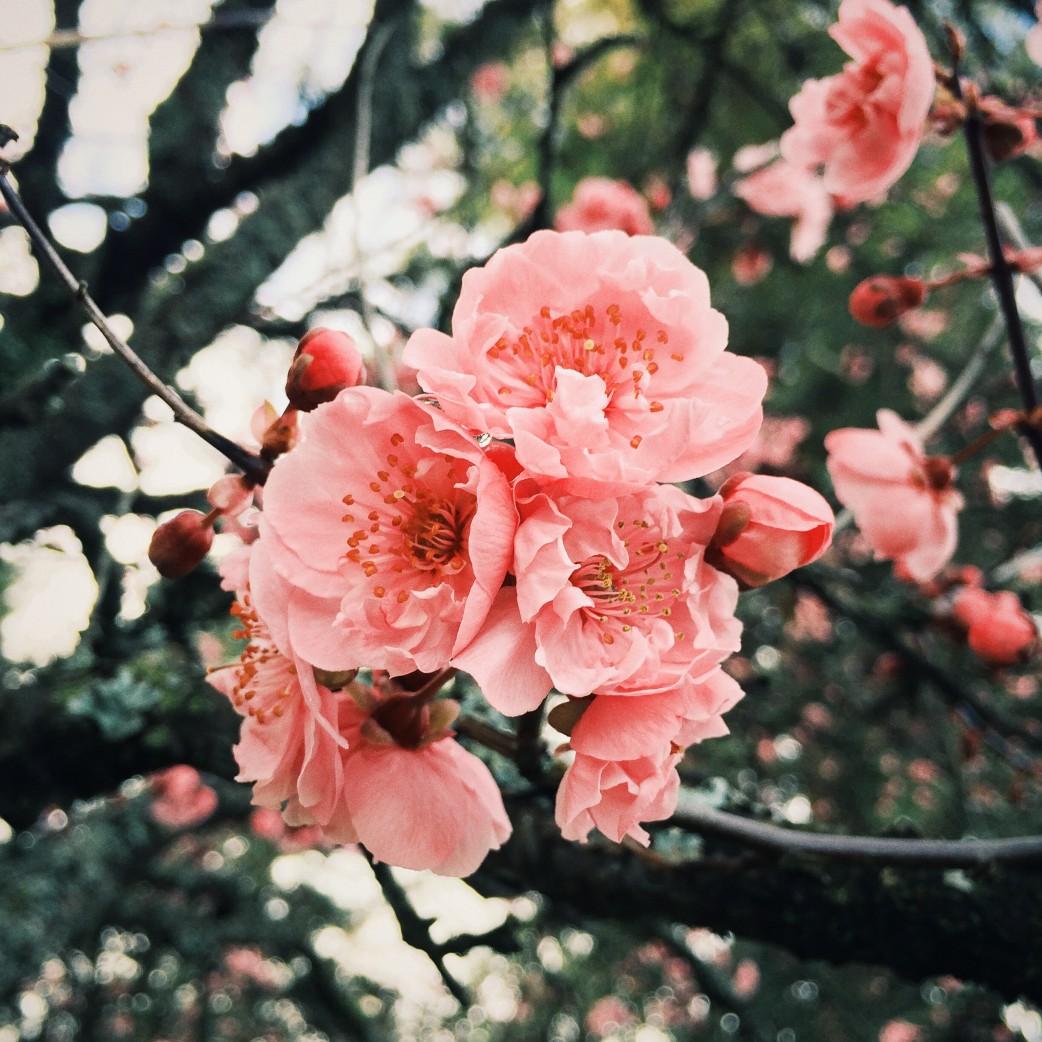 Cherry Blossoms, Esquimalt Gorge Park