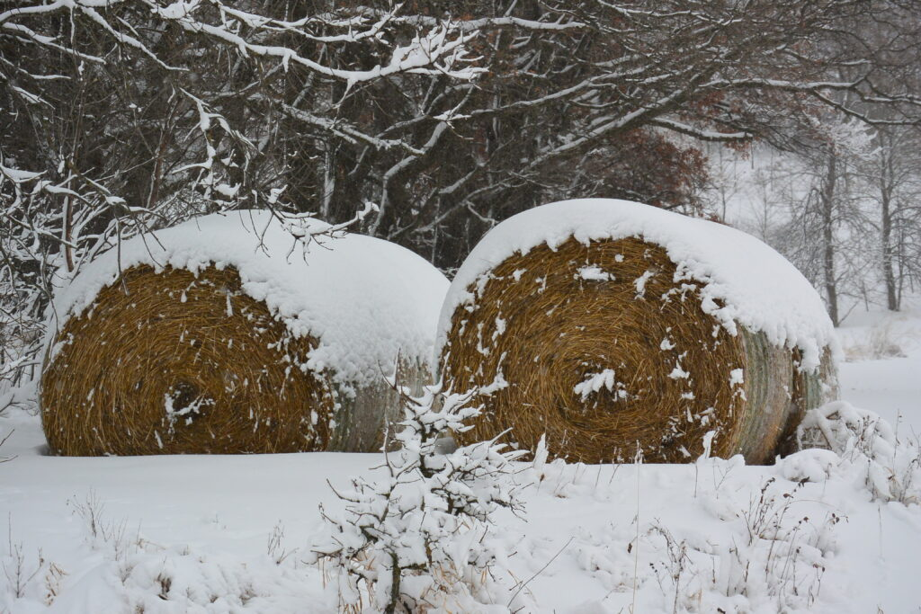Hay bales with white tuffs of Snow Queen Anne's Lace