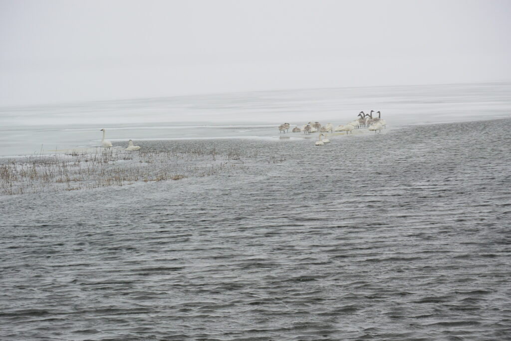 Trumpeter swans and snow geese on Ottertail Lake where Ottertail River meets it