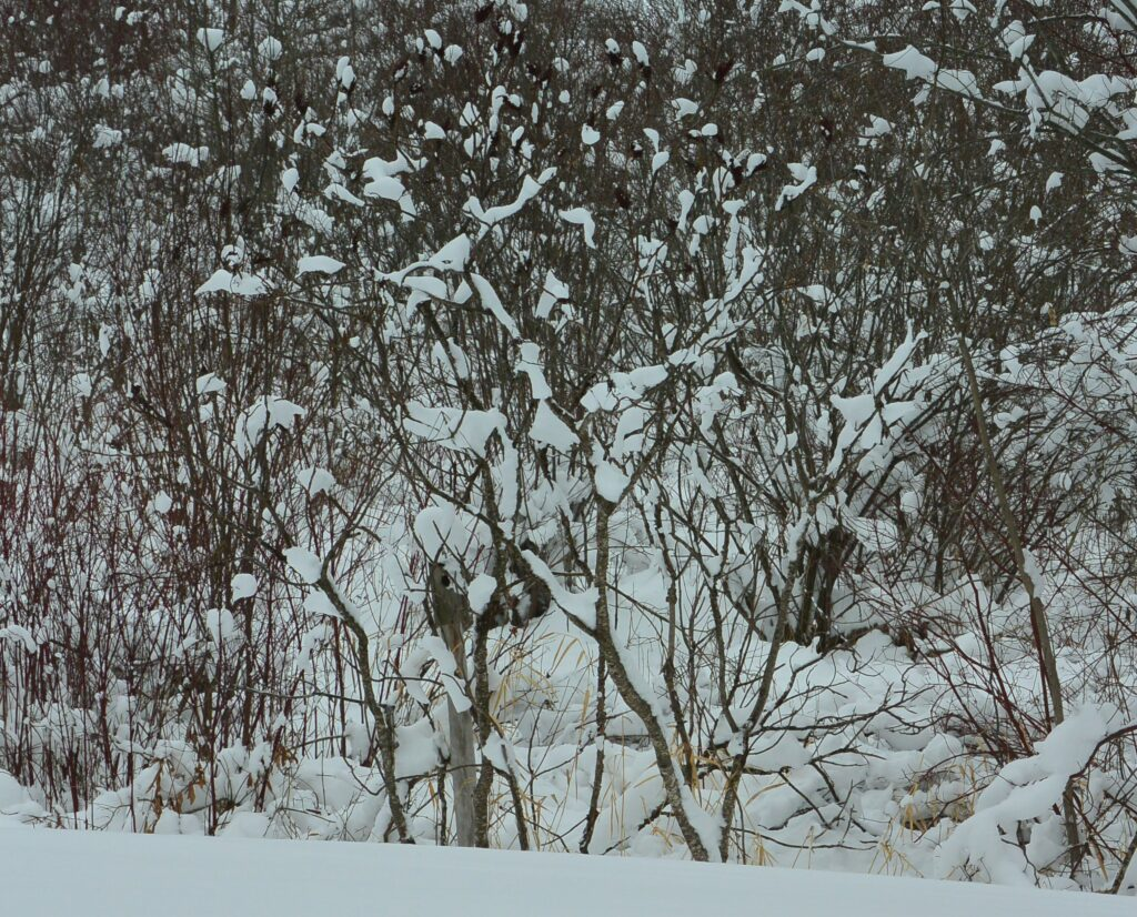 Ground trees and shurbs with snow berries