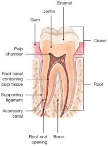 Root-Canals-Explained
