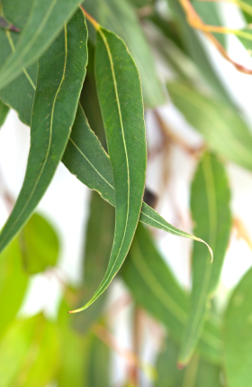 eucalyptus spearmint fragrance