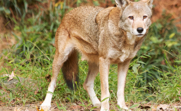 Judge rules on red wolf plan